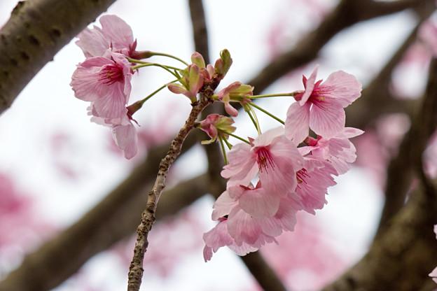 Photos: 桜の花04
