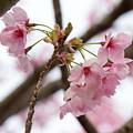 写真: 桜の花04