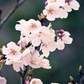 写真: 桜の花06