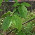 Photos: クマノミズキの葉