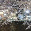 Photos: 夜の桜3