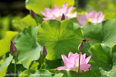 やまびこ農園の蓮(4) 2012
