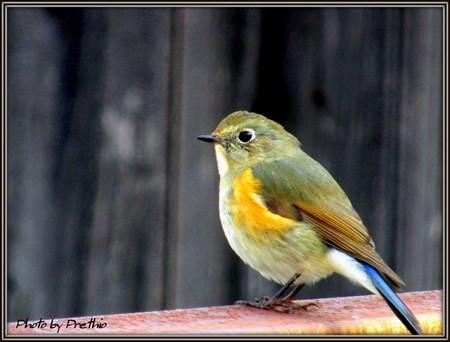 新フィールドの野鳥達 Ver2 ルリビタキ