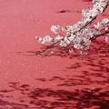 写真: 赤い水面を彩って