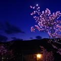 Photos: 月夜の桜