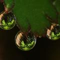 Photos: 葉っぱを映し込む水滴