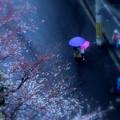 Photos: 雨の桜道