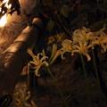 白い彼岸花と灯り