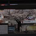 Photos: 風景 - 小平駅前の桜