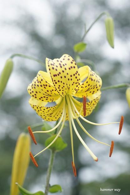 その名もオウゴンオニユリ、開花!