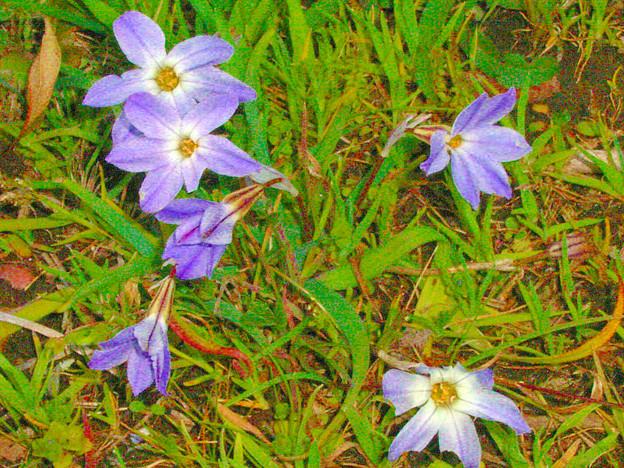 0328 ハナニラ 紫 050