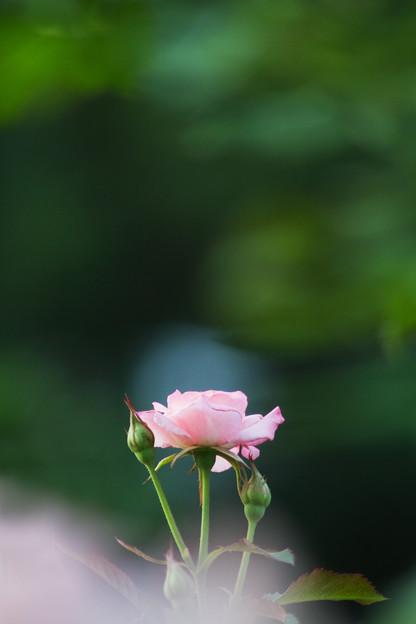 森の中の薔薇