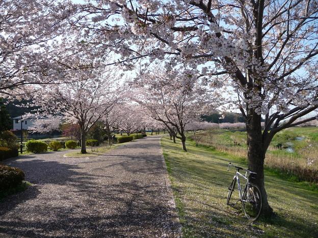 引地川親水公園の桜とレモン6