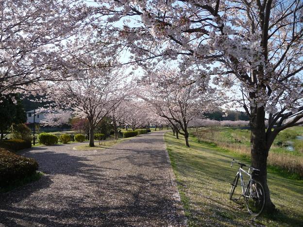 引地川親水公園の桜とレモン7