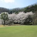 Photos: 足利城ゴルフ倶楽部の桜NO2?