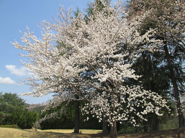 写真: 足利城ゴルフ倶楽部3番Hの桜