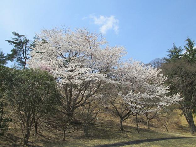 写真: 足利城ゴルフ倶楽部8番ショートホールのグリーン奥の桜