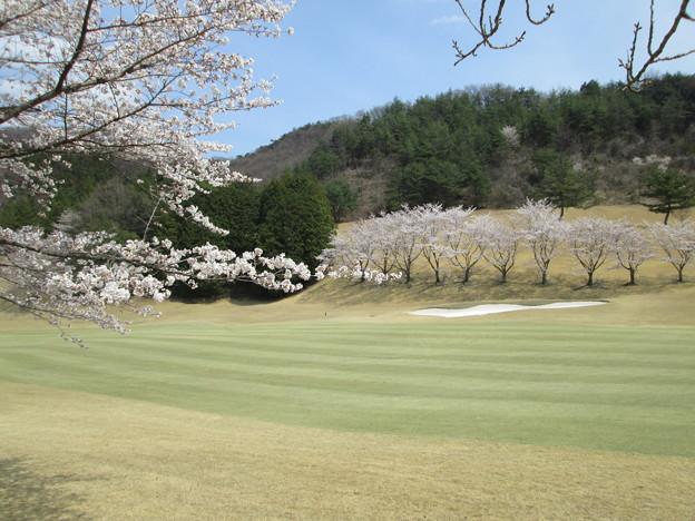 Photos: 足利城ゴルフ倶楽部10番Hセカンド地点の桜