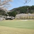 写真: 足利城ゴルフ倶楽部10番Hセカンド地点の桜