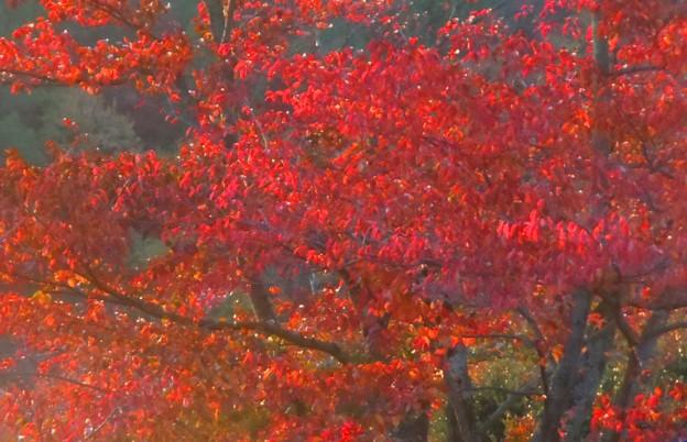 桜の紅葉前線南下中♪