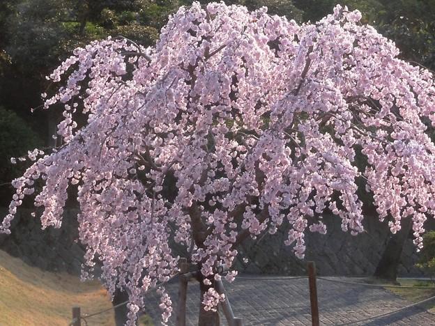 福島県の「三春滝桜」 の子孫樹2013 in 千光寺山