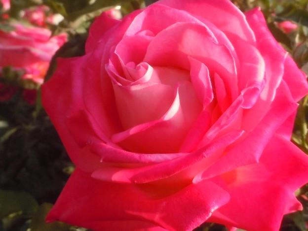 緑町の薔薇