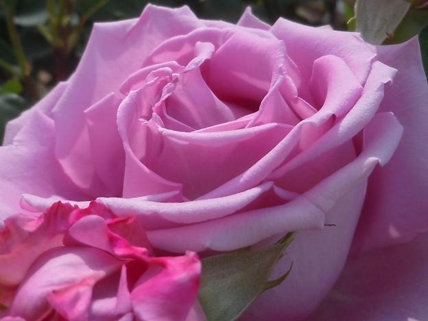 五月の薄紫色の薔薇