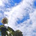 梅雨の晴れ間にカシワバアジサイ