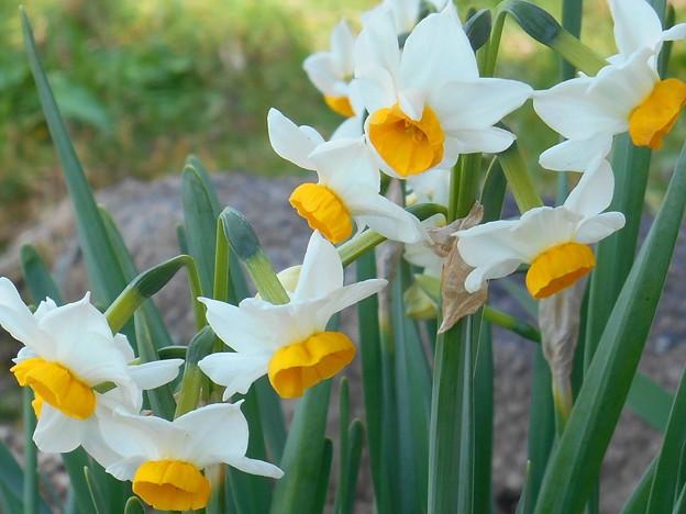 岸辺に咲ける水仙の花♪