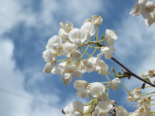 青い空に白い藤