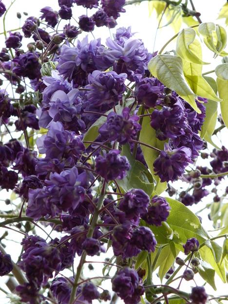 少し開いた八重咲き藤