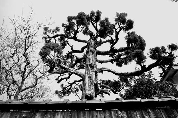 近江八幡の街 塀と木