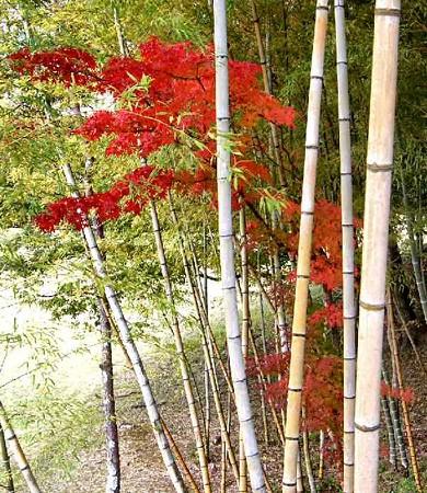 momiji-sakura-181114-2