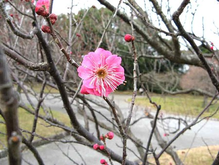 豊橋梅林公園 2007年新春 梅咲き出しました-190125-1