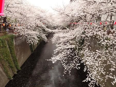 2013.3.25 目黒川の桜 中目黒駅から上流へ2つめの橋