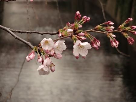 2014.3.26 目黒川の桜