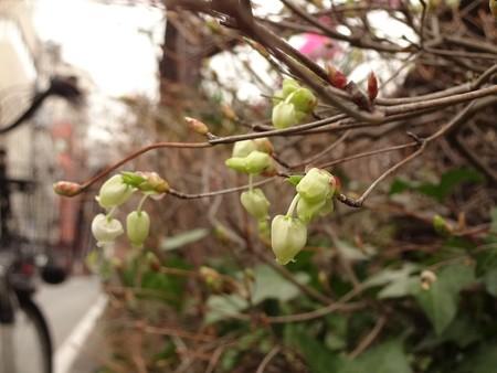 2014.3.26 目黒川沿いのドウダンツツジ