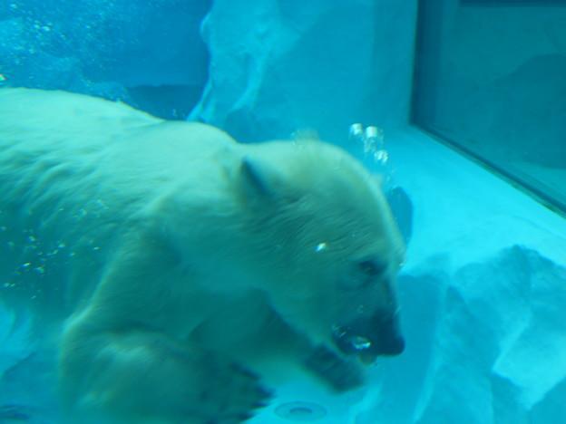 水中の白熊