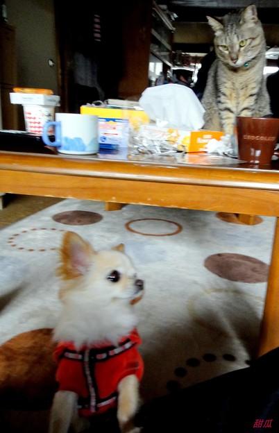 写真: 猫に睨まれたチワワ