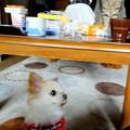 Photos: 猫に睨まれたチワワ