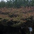 Photos: 桜の紅葉も・・