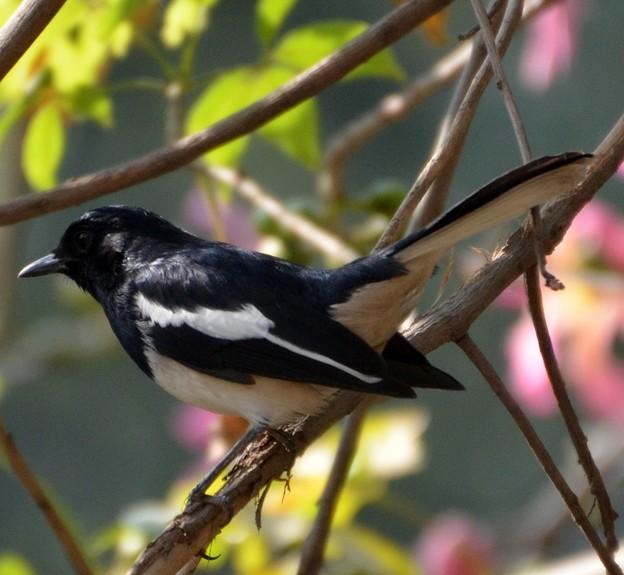 シキチョウ  Oriental Magpie Robin                 DSC_0813
