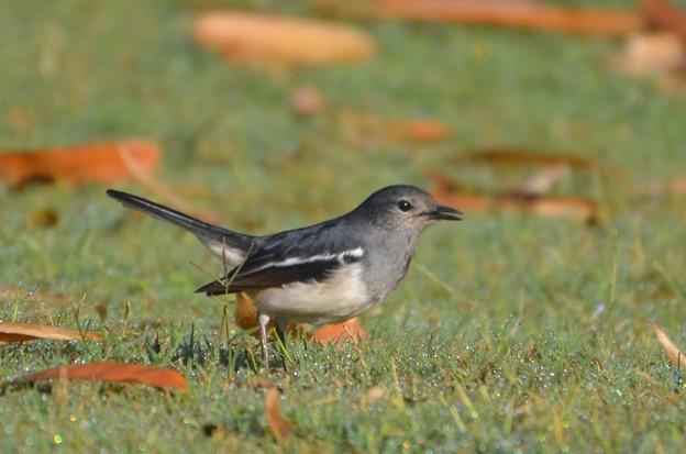 バングラディッシュの国鳥であるシキチョウ        116