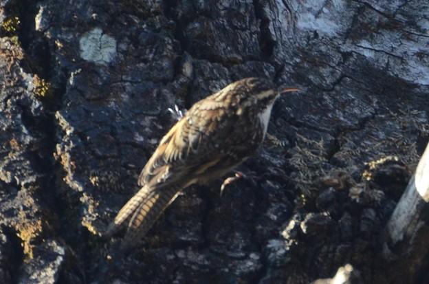 ヒマラヤキバシリ