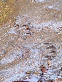アライグマの足跡(散在ヶ池)。