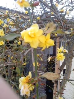 黄色い花(2月27日、小袋谷町内会)