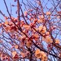 写真: 夕梅(3月9日、北鎌倉)