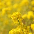 菜の花 C04725