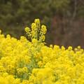 菜の花 C04778