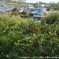 Photos: 2012-11-24ミカン狩り (3)